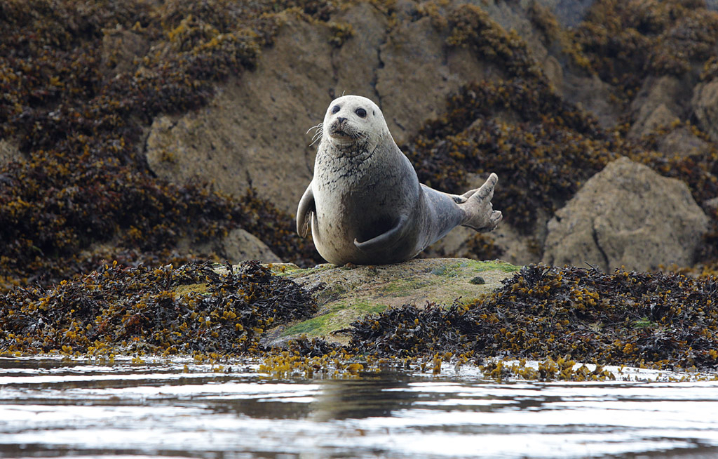 Grey Seal. Photo: Valerie O'Sullivan.